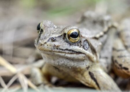 Portrait of a gray-brown frog. Macro photo Stok Fotoğraf