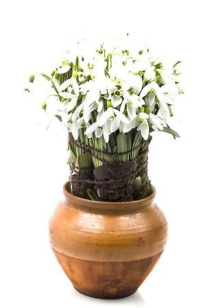White snowdrops in a clay pot