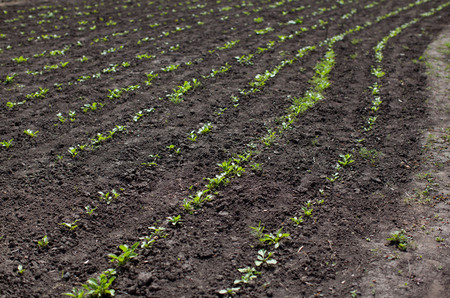 subdue: land on the field or in the garden, young green sprout crops, spring, agriculture, horizontal image
