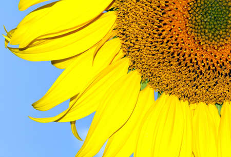Part of sunflower on the blue background