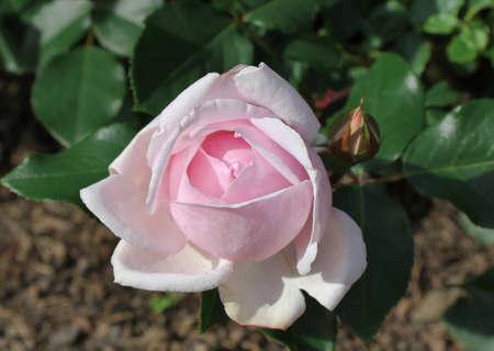 Tender pink rose in a garden