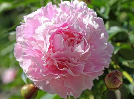 Roze pioen