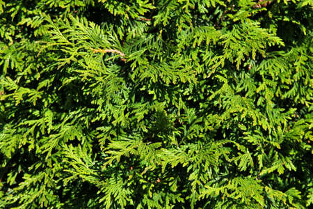 Green background of thuja