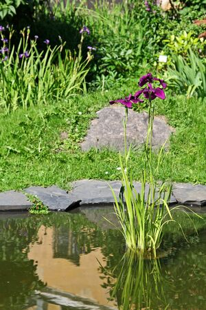 Iris in a pond