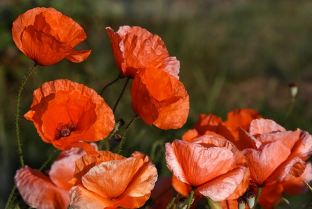 Overblown poppies