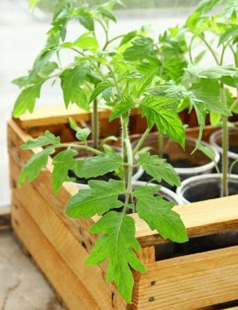 Seedlings of tomatoes in box