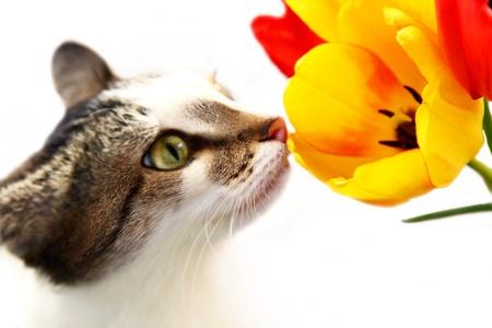 Nice cat smelling yellow tulip Stock Photo