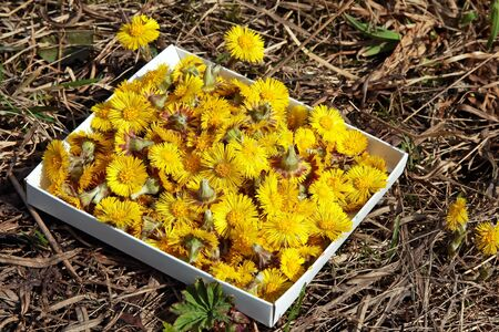coltsfoot flower Stock Photo