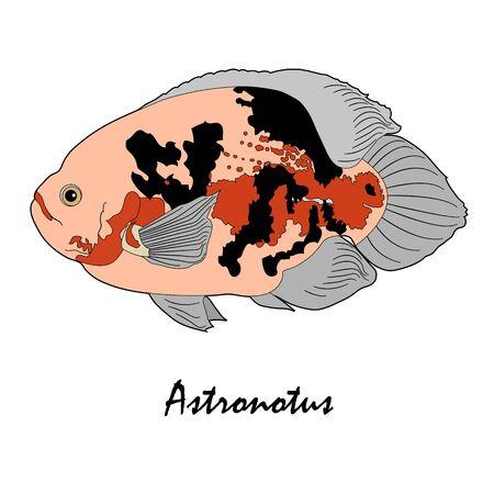 astronotus: Astronotus Saltwater Aquarium Fish vector illustration Illustration