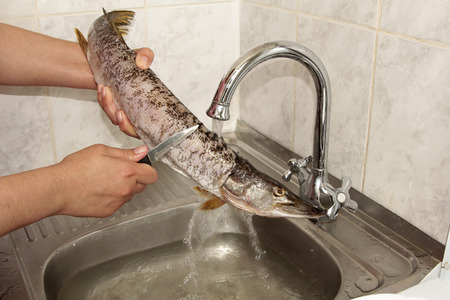 Pike fish cleaning under water