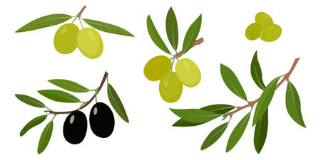 Olive branches with green and black olives vector illustration
