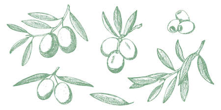 Olive sketch branches collection isolated on white background, olives vector hand drawn illustration
