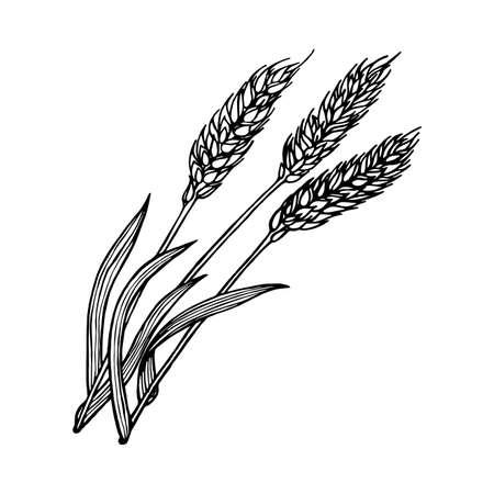 Wheat ears botanical hand drawn illustration for bakery design vector vintage background Illustration