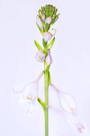 hosta: beautiful flower hosta