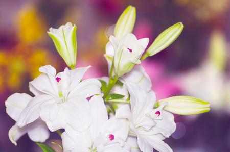white lily: lirio blanco hermoso