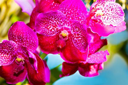 vanda: beautiful pink orchid vanda