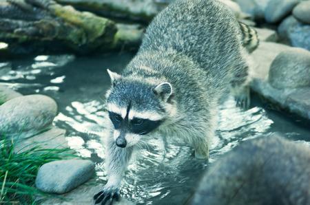 raccoon: raccoon in a wildlife