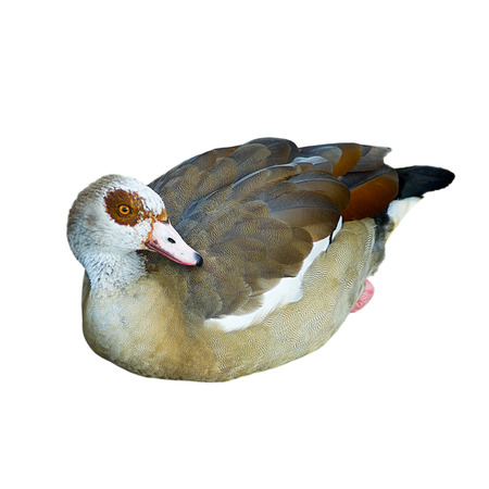aegyptiaca: Egiptian goose isolated on a white background