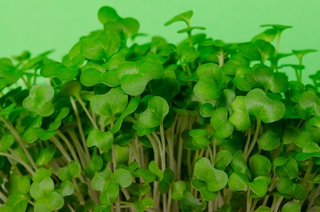 Cress salad young sprouts close up on green background selected focus. Eating right, stay young and modern restaurant cuisine concept