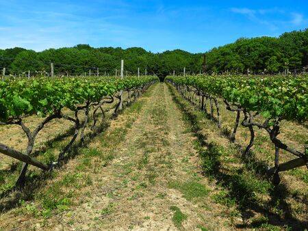 Vineyard in England. Vineyard in the Weald in Kent in England. Early summer vines. Rows of grapevines in an English vineyard. Kent, England, United Kingdom, two rows of young grape vines in a vineyard