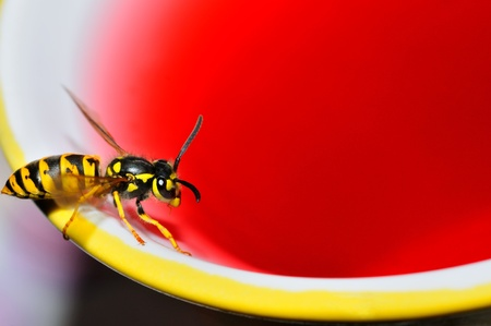 A wasp sipping strawberry juice