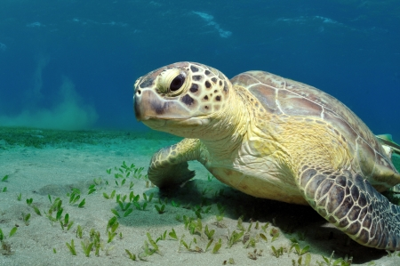 marsa: Sea turtle sitting on a sandy bottom under the water, Marsa Alam, Egypt, Red Sea