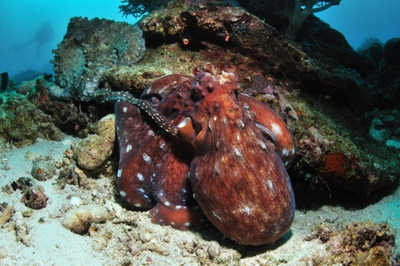 Two big octopuses are sitting on a coral reef, one of them touches the other by its tentacle, with a diver watching them in a distance, Balicasag, Philippines Stock Photo - 18088347