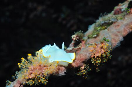 Nudibranch  Avernis ardeadoris  sitting on a piece of coral, Panglao, Philippines Stock Photo - 18088336
