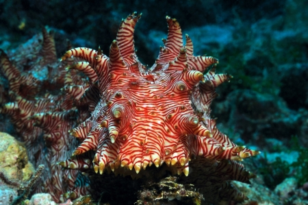 sea cucumber: A candycane  peppermint, red-lined  sea cucumber  Thelenota rubralineata  is crawling over the reef, Panglao, Philippines