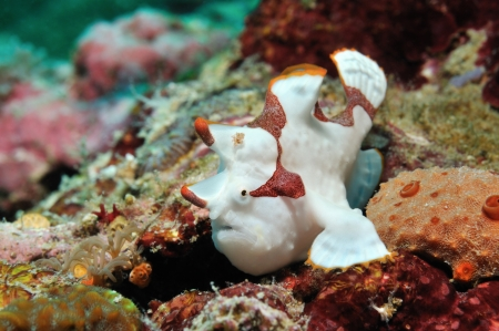 Clown frogfish  painted anglerfish, painted angler  is sitting on a coral reef, Panglao, Philippines photo