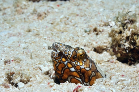 Clown Napole�n anguila serpiente se mira furtivamente fuera de su madriguera, Panglao, Filipinas photo