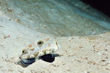 goby: Due-spot ghiozzo e signalfin ghiozzo sono a guardia loro tane, Panglao, Filippine Archivio Fotografico
