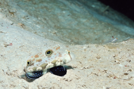 burrows: Two-spot goby and signalfin goby are guarding their burrows, Panglao, Philippines Stock Photo