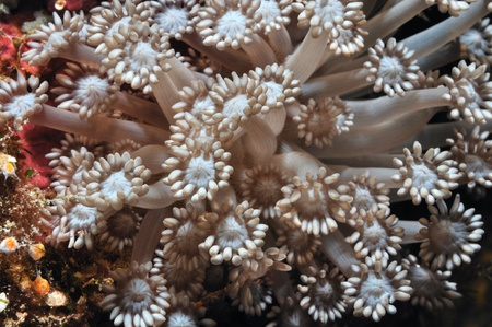 """columnar: Columnar daisy coral is """"blooming"""" on a coral reef, Panglao, Philippines Stock Photo"""