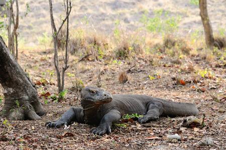 alarmed: A Komodo dragon resting under the tree in the Komodo national park is alarmed