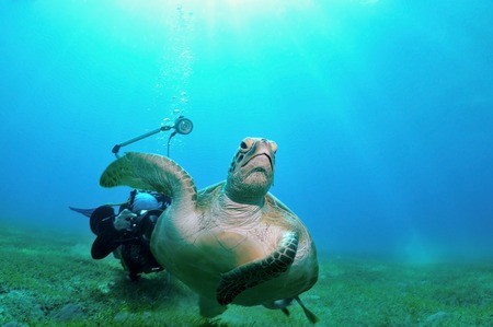 marsa: Sea turtle is swimming away from a photographer, shot taken close to a bottom under the water, Marsa Alam, Egypt, Red Sea Stock Photo