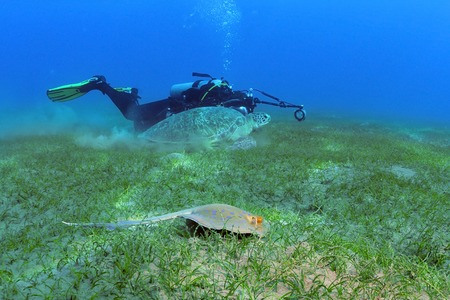 marsa: The photographer in the background is taking picture of a turtle and a stingray swimming side by side, shot taken close to bottom under the water, Marsa Alam, Egypt, Red Sea Stock Photo