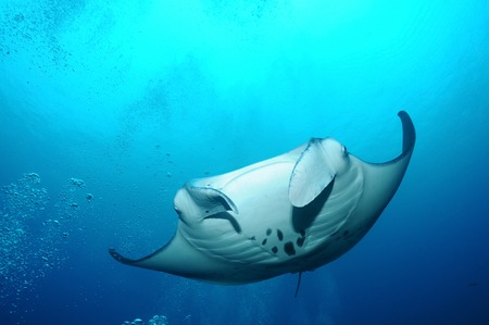 ari: Manta-ray is floating in bubbles at the cleaning station, S. Ari Atoll, Maldives