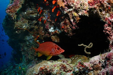 A long-jawed squirrelfish (Sargocentron spiniferum) is hiding in a cavern, Maldives photo