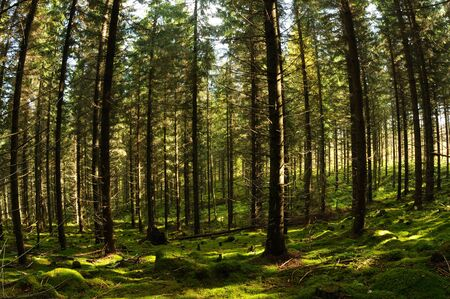 penetrated: Fir tree forest penetrated with sunbeams, Puumala, Finland Stock Photo