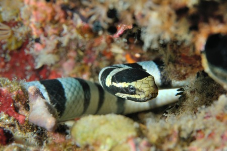 sea snake: Sea snake lying in ambush Banded sea krait, Panglao, Philippines Stock Photo