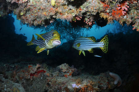 sweetlips: Two seetlips yellowbanded sweetlips are hiding in a cavern, North Male Atoll, Maldives