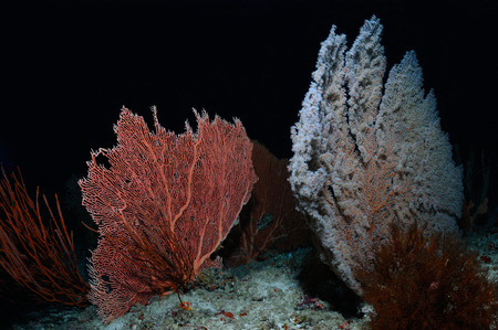 gorgonian: Isolated fans of gorgonian corals Gorgonian and Blueberry Sea Fans growing on a seabed, North Male Atoll, Maldives Stock Photo