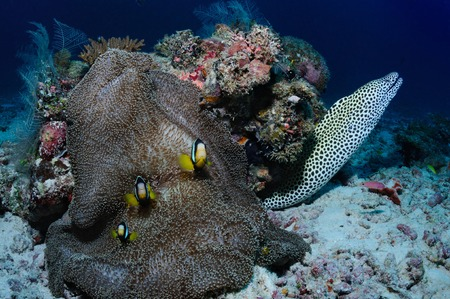 mutualism: Honeycomb moray eel and anemone in a shape of a frog fish with amphiprions Yellowtail clownfish on it, Ari Atoll, Maldives