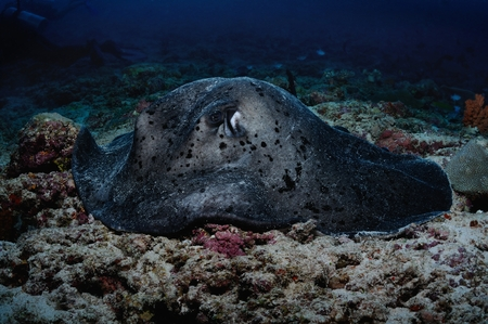 blotched: Blotched fantail ray is bedded on the coral bottom, Baa Atoll, Maldives Stock Photo