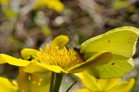rhamni: Brimstone butterfly (Gonepteryx rhamni powedery) is sitting on a marsh marigold flower, Puumala, Finland Stock Photo