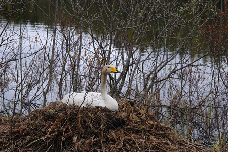 straw twig: Whooper swan is sitting on a nest close to a small river, Puumala, Finland