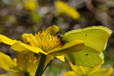 gonepteryx rhamni: Brimstone butterfly (Gonepteryx rhamni powedery) is sitting on a marsh marigold flower, Puumala, Finland Stock Photo