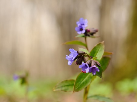 pulmonaria: Blooming lungwort in its natural environment, Moscow, Russia