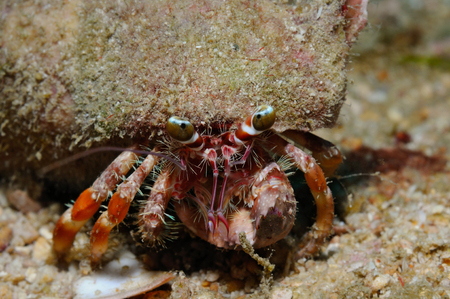 Anemone hermit crab laden with a big shell covered with small bits of debris for camouflage, Puerto Galera, Philippines